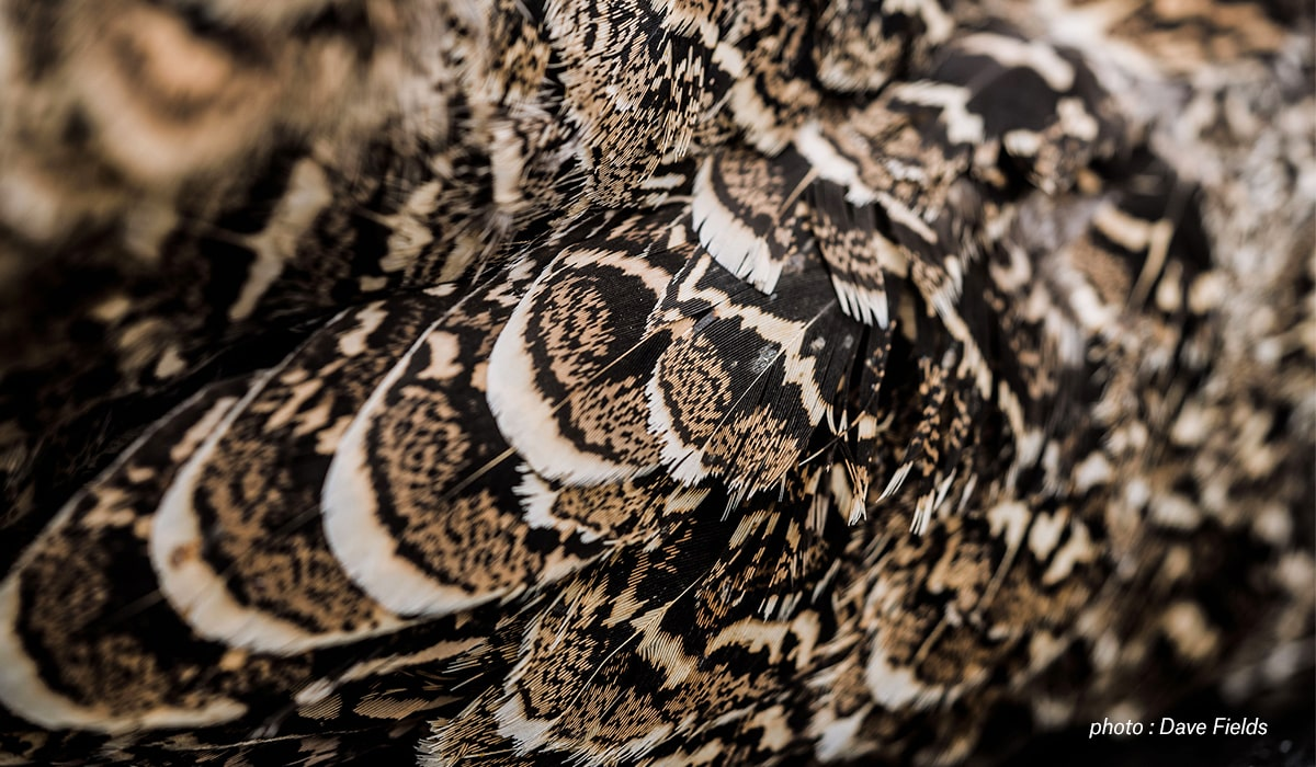 Closeup image of a grouse.