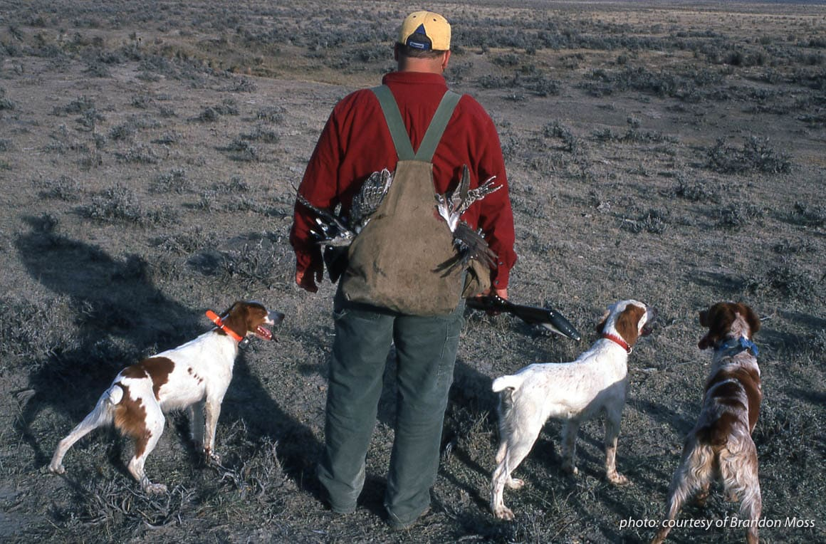 Man upland hunting with three Brittany spaniels.