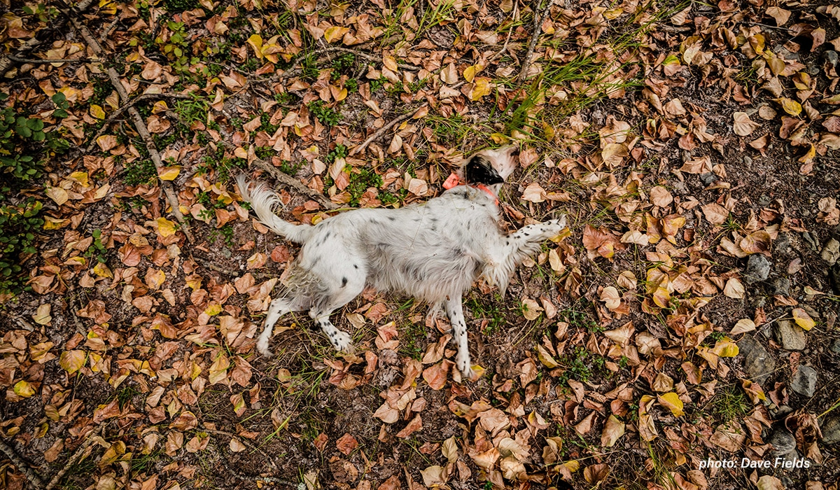 Setter playing in leaves while upland hunting in Montana.