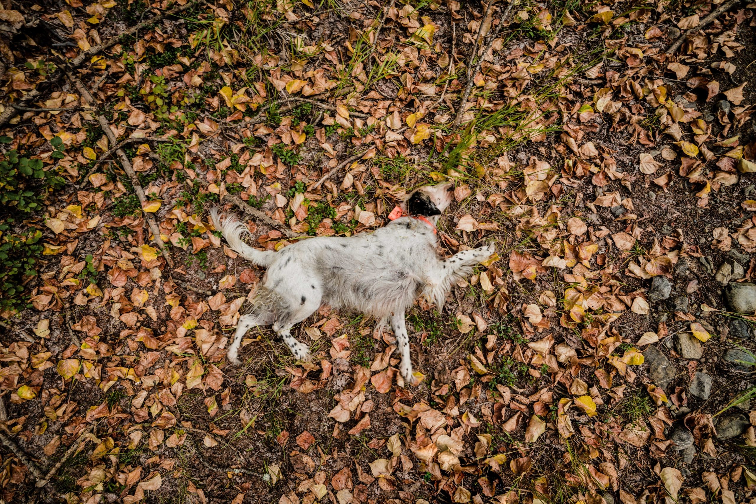 A setter rolls around in leaves while grouse hunting in northwest Montana.
