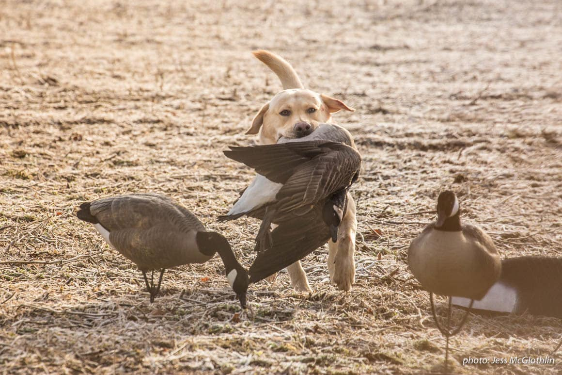 Yellow lab retrieving a Canadian goose and running through a field of decoys.