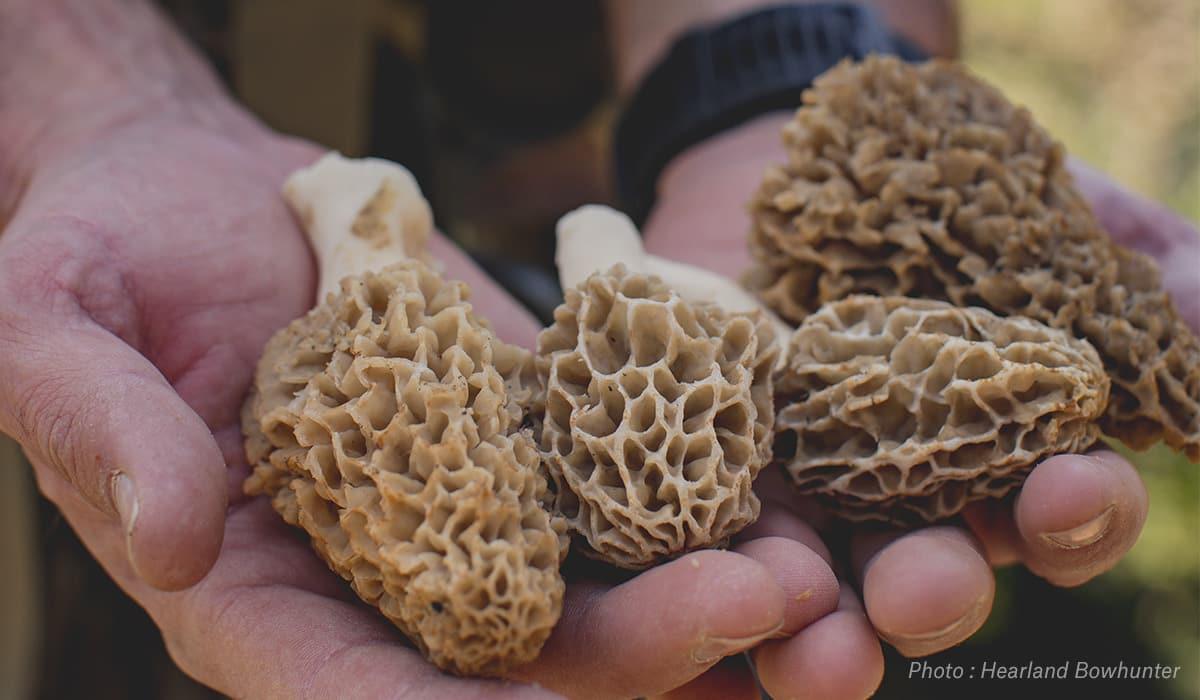 Morel mushrooms in a man's hand.