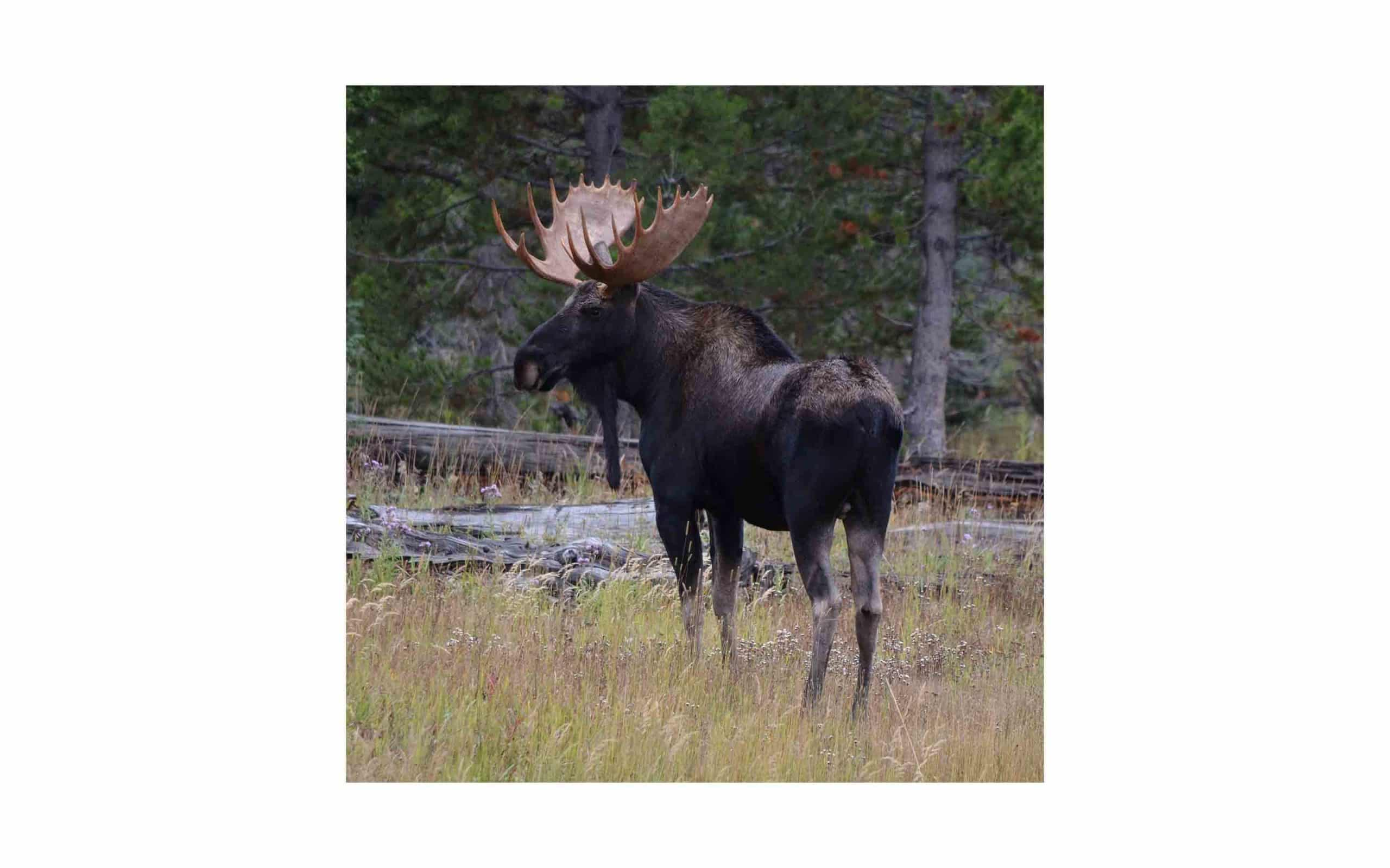 co-moose-Curtis-Elmore.jpg?mtime=20170811134653#asset:6292
