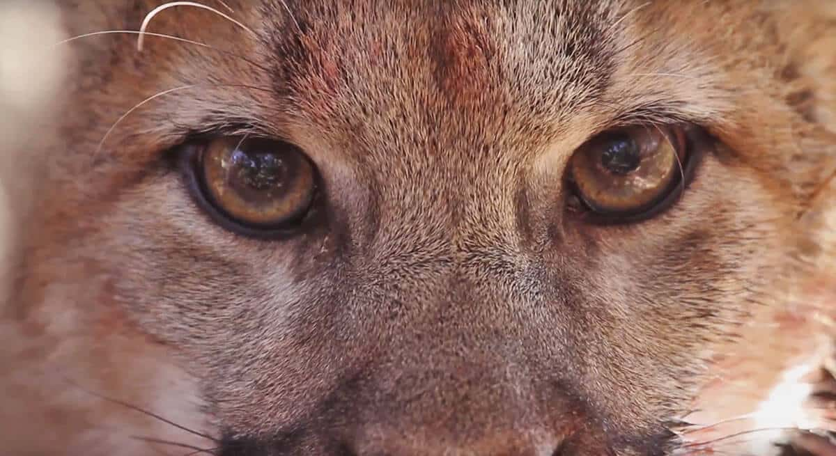 mountain lion eyes