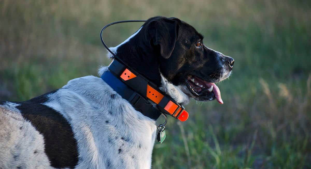 hunting dog collar