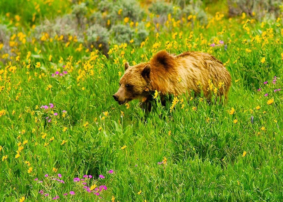Grizzly bear foraging for food in meadow