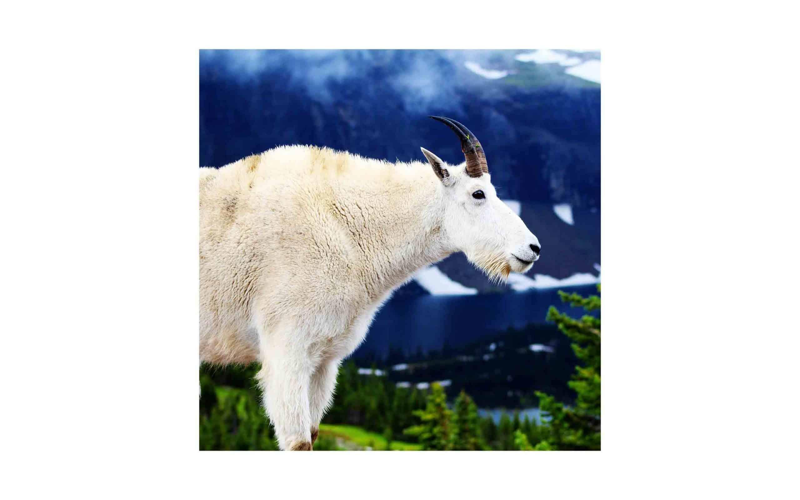 nv-mountain-goat-Rex-Wolferman.jpg?mtime=20170811134641#asset:6284