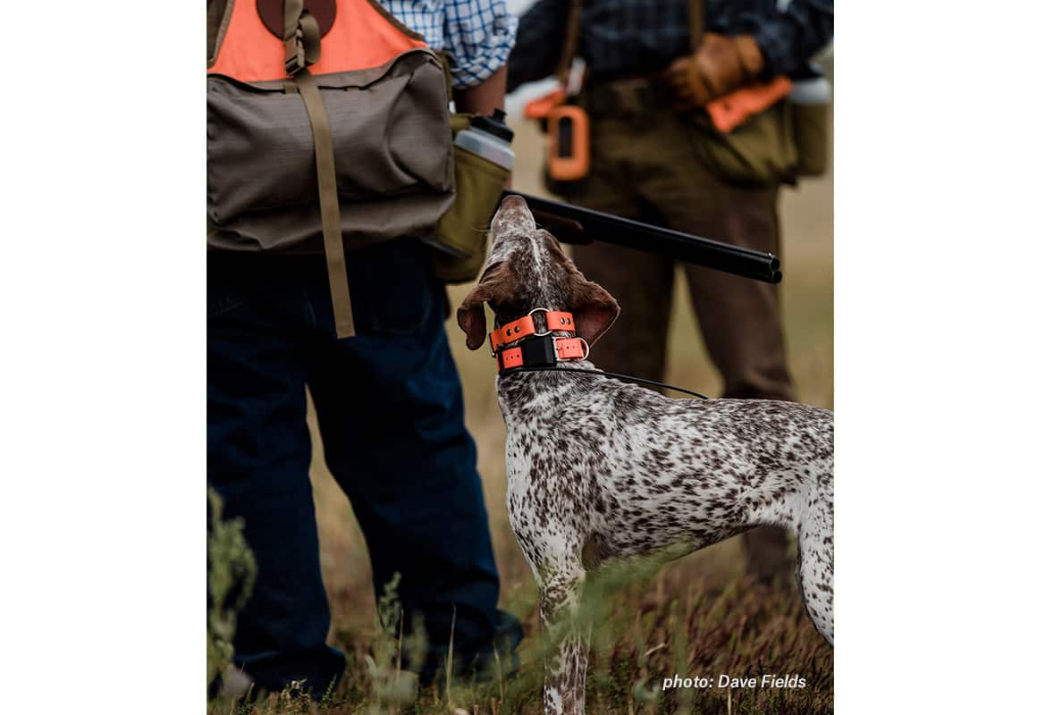 A German short haired pointer looks up at its owner, waiting to chase more birds.