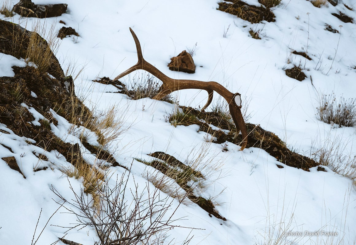 Elk shed found in snow in the mountains.