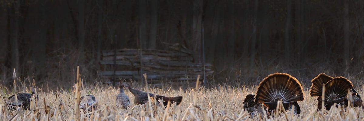 Wisconsin turkeys