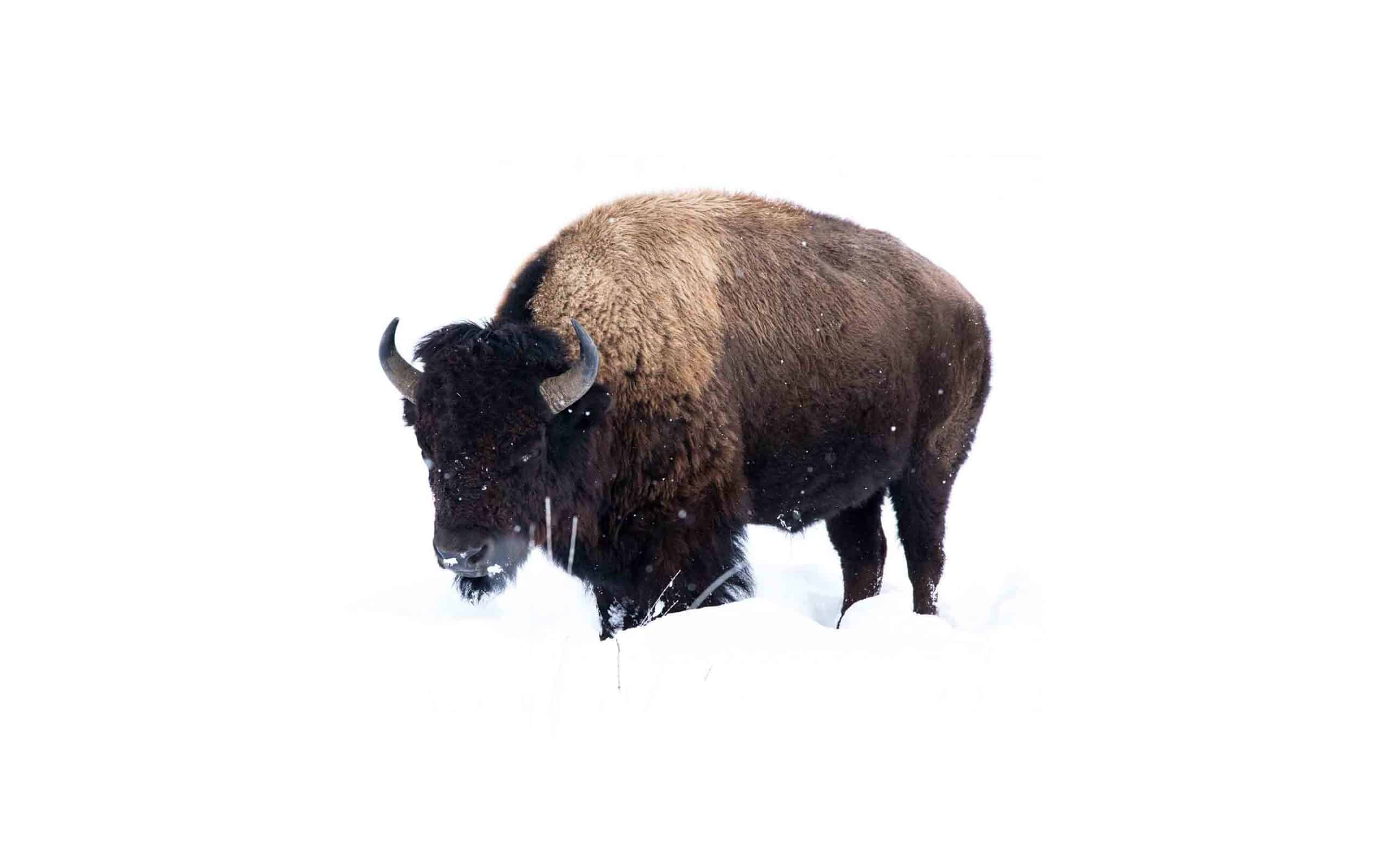 wy-bison-zach-sandau.jpg?mtime=20170811134647#asset:6288