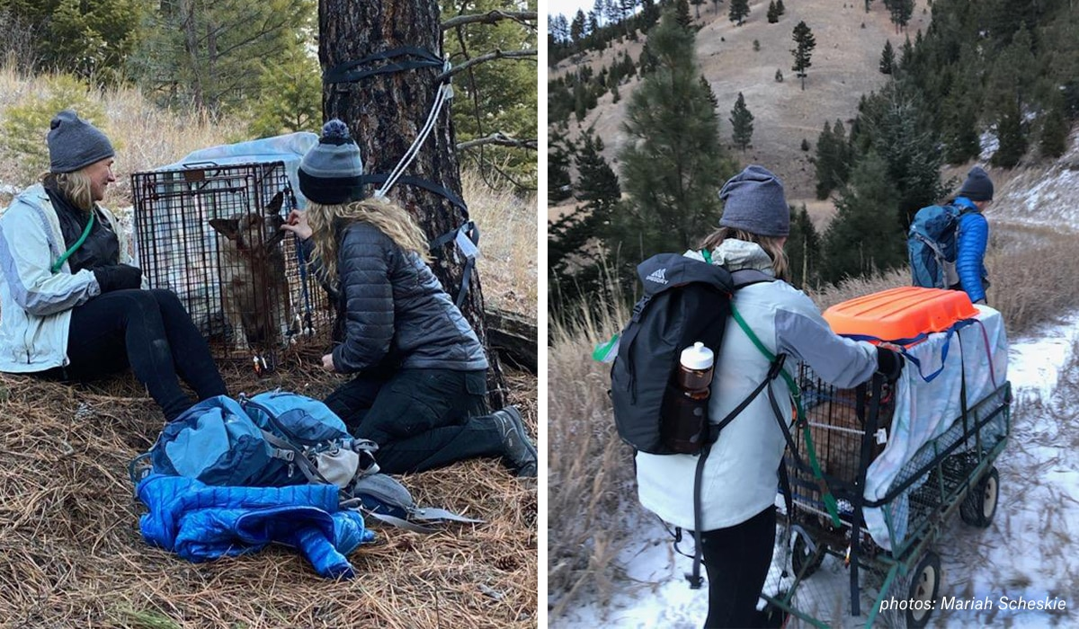 Images of volunteers safely recapturing Yoda the missing shelter dog in the mountains near Missoula, Montana.