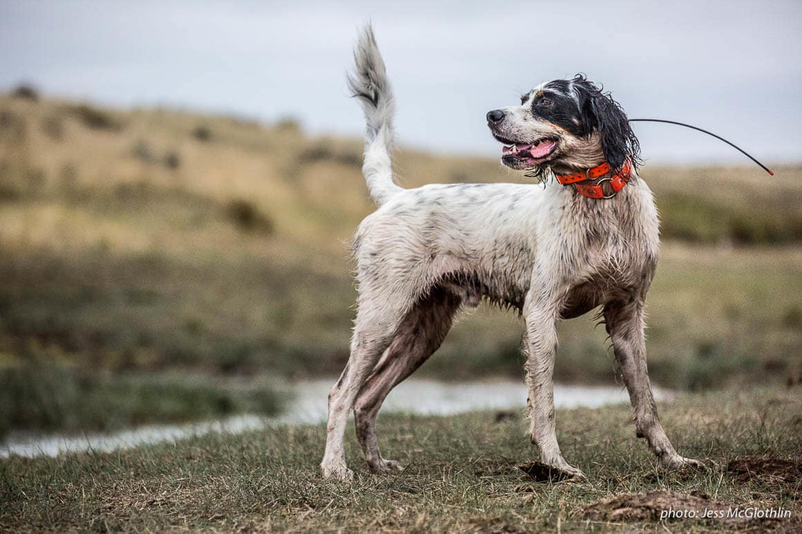 An English setter pauses in the field while upland bird hunting in eastern Montana.