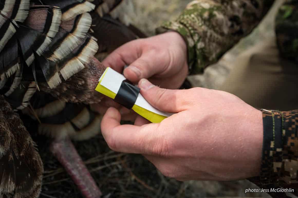 Man tagging turkey he shot during spring hunting season in Montana.