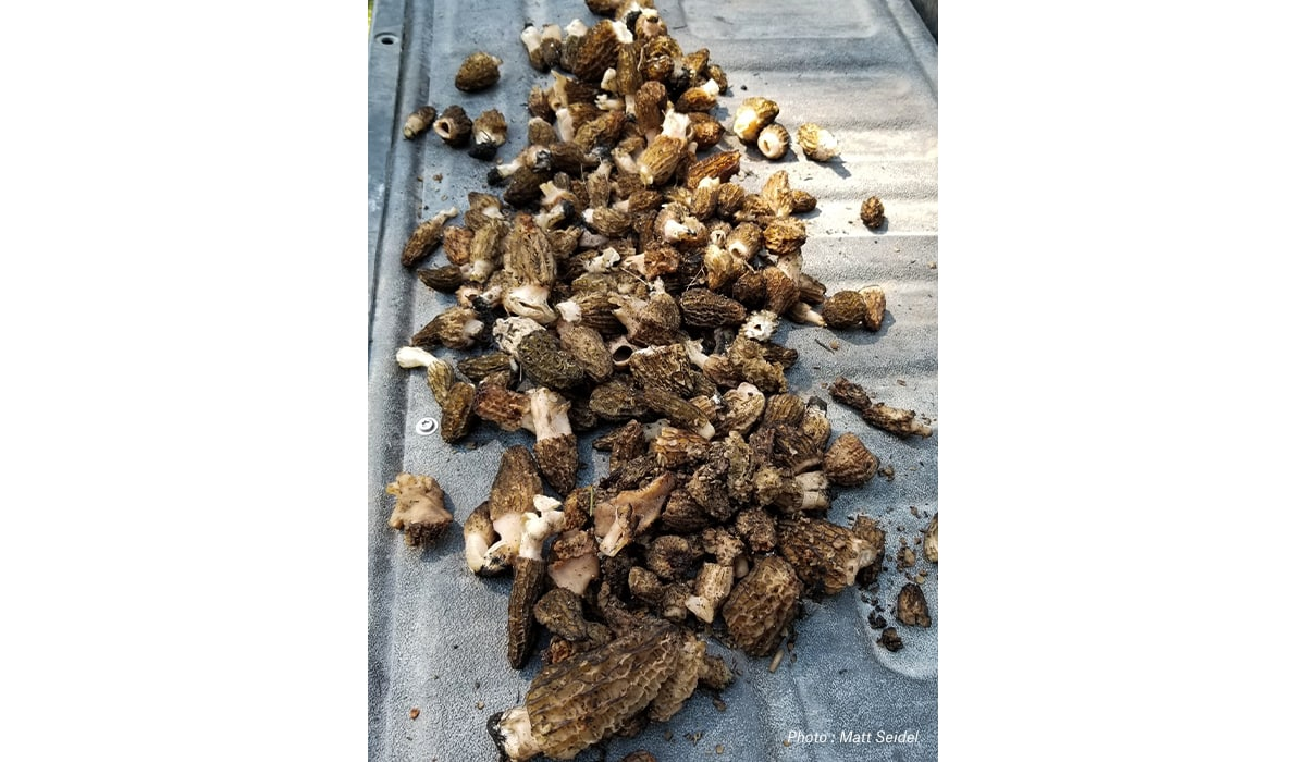 A day's haul of morels on the tailgate of a truck.