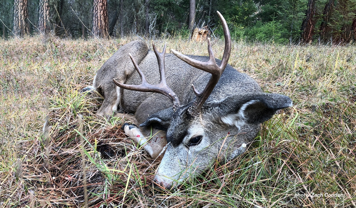Army veteran and onX staffer Zach Condon's wife, Jessi, harvested this mule deer on opening day in Montana.
