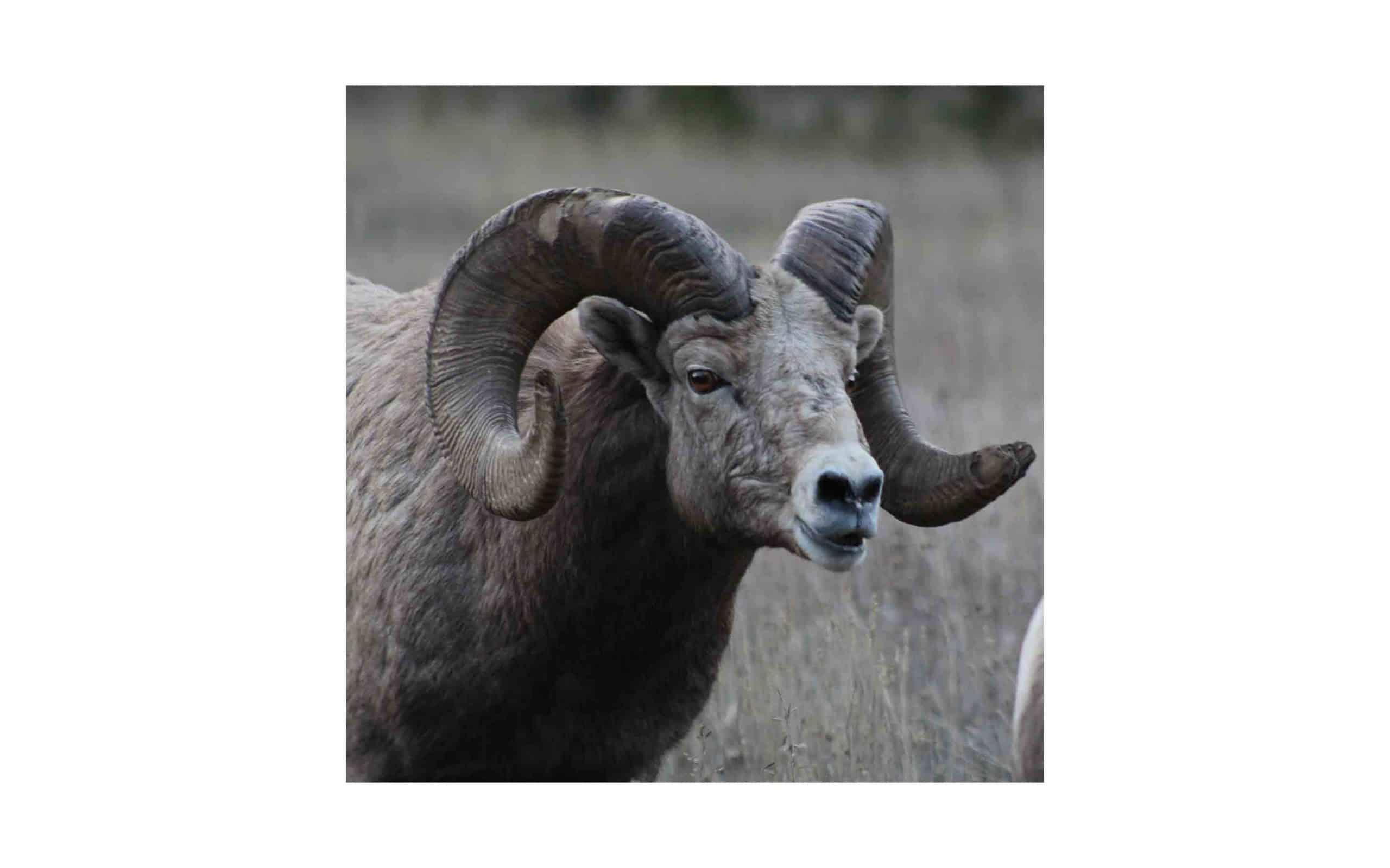 mt-bighorn-sheep-Rex-Wolferman.jpg?mtime=20170811134638#asset:6282