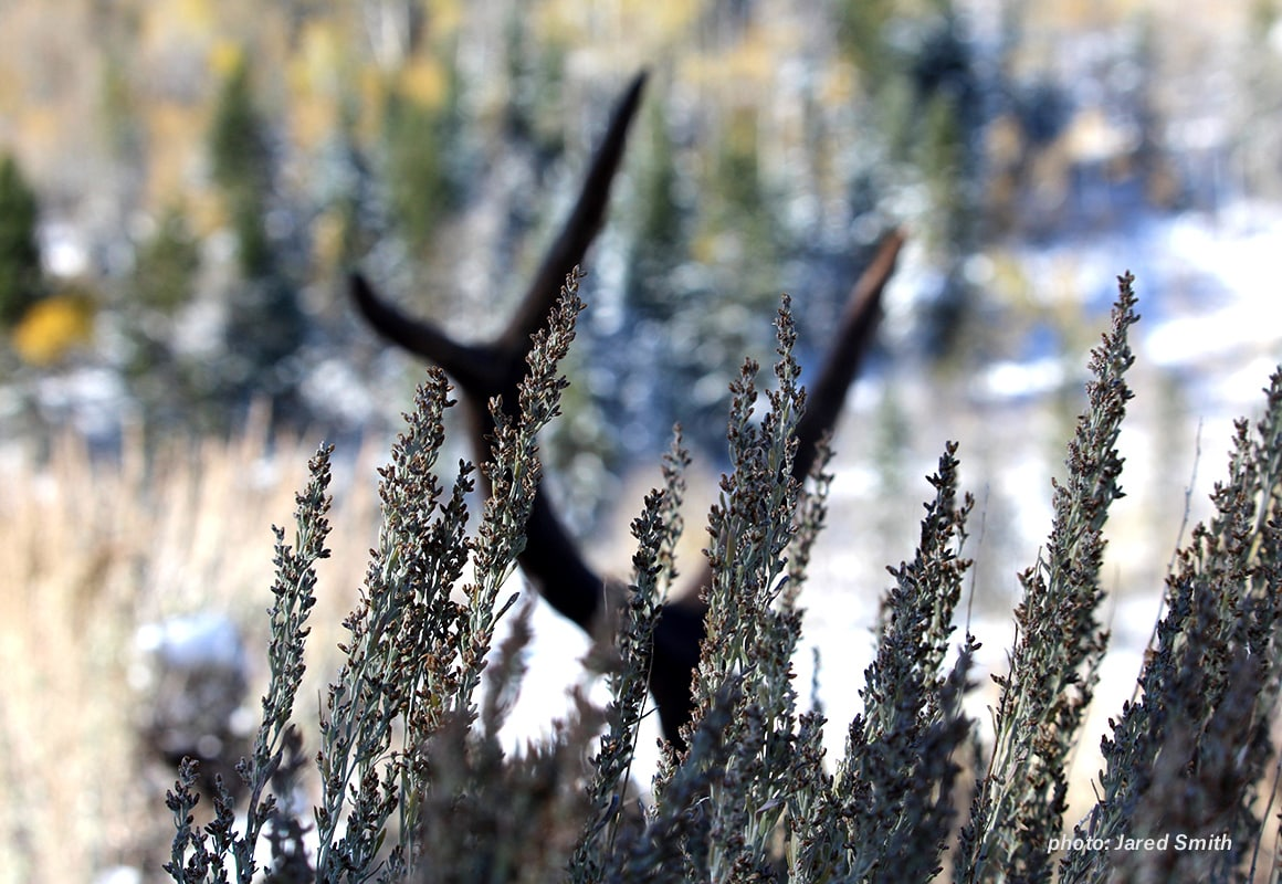 Elk antlers rest amid sage brush in the West.