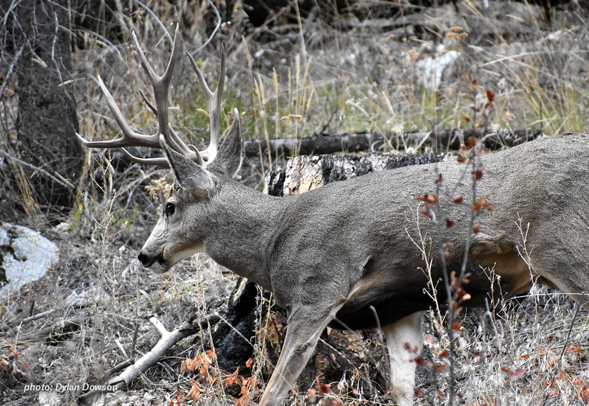 Photo of mule deer in the Rocky Mountains.