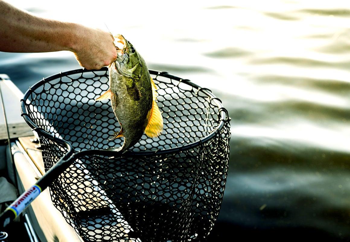 Fisherman using landing net to catch bass at boat