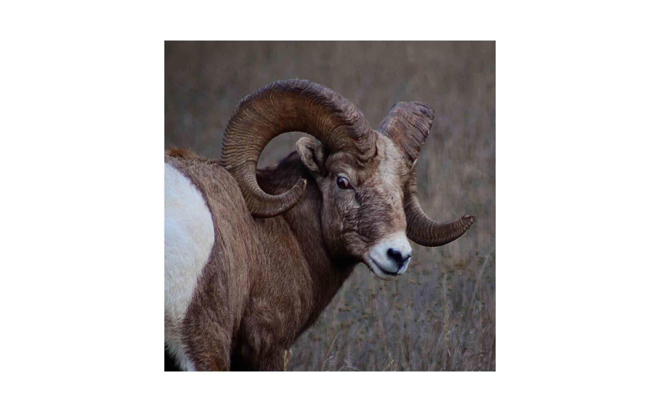 or-bighorn-sheep-2.jpg?mtime=20170811134642#asset:6285