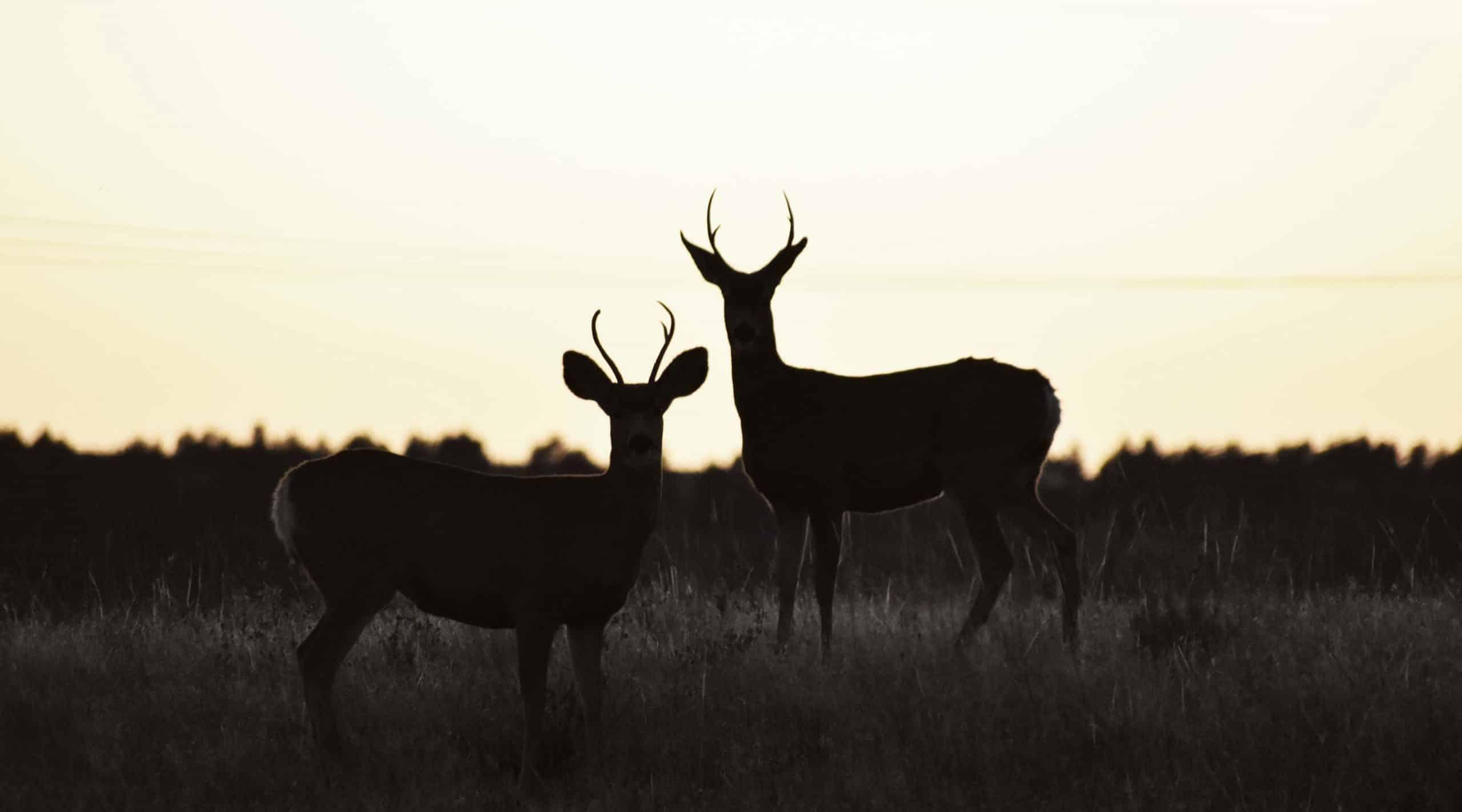 Whitetail deer at sunset