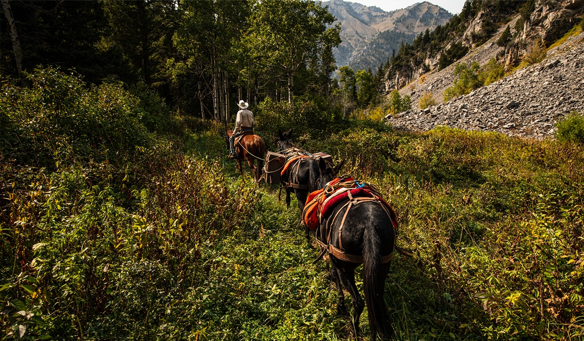 Pack train of horses packing out deer from a mule deer hunt.