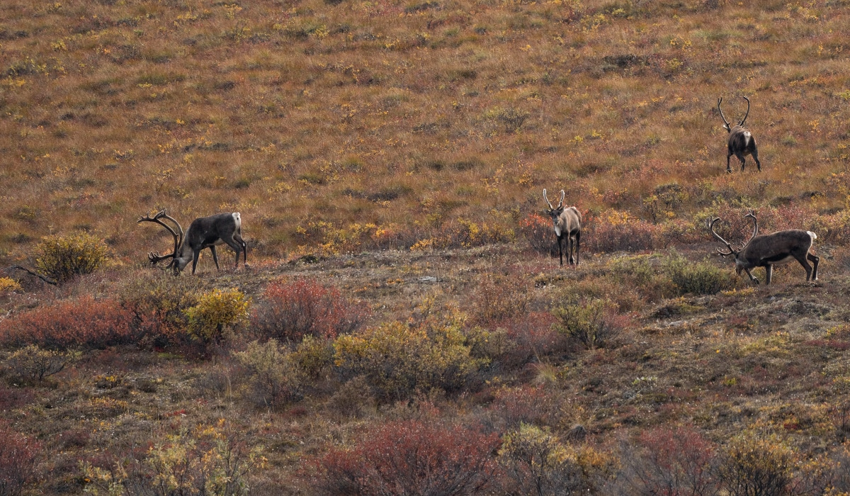 Caribou grazing on the Alaska tundra.