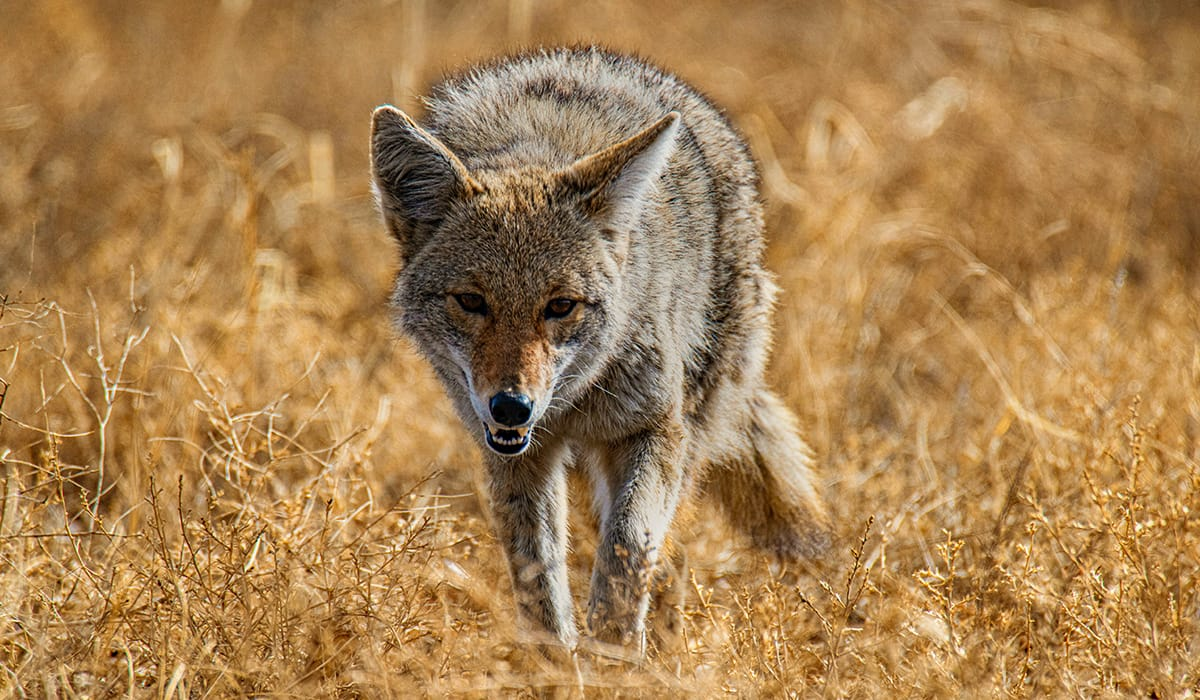 onX Whitetail Report - July - Predators