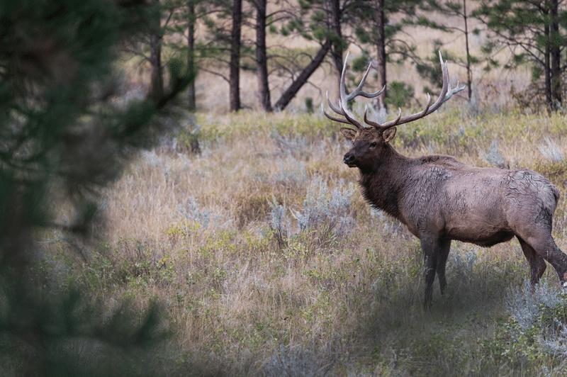 scouting-elk