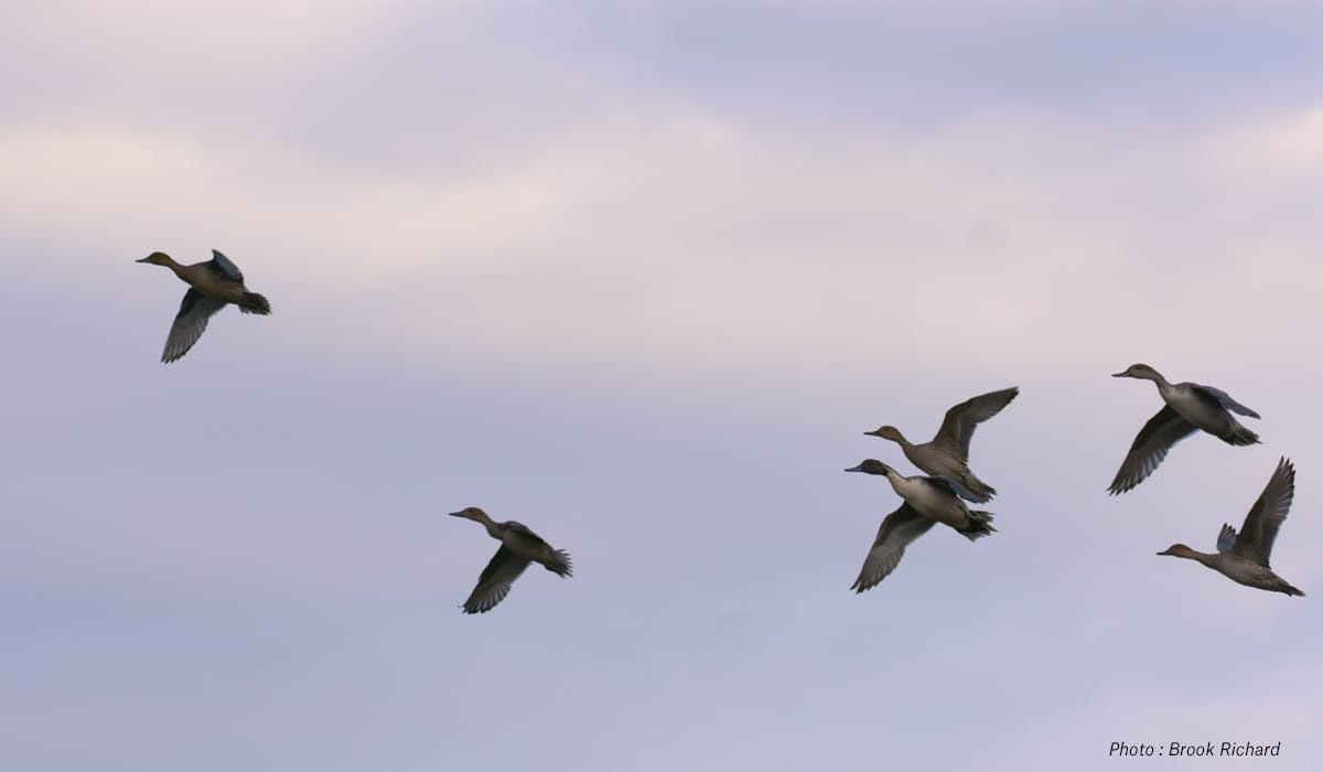 California: Best State for Hunting Pintails